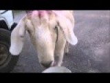 Want To Be Fit As A Goat? Drink Saltwater And Chase Cars