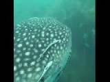 Whale Sharks At Sail Rock, Thailand