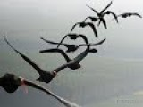 Why Birds Fly In V Formations