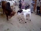 WWF Pakistani Goat