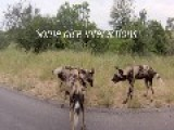 Wild Dogs Vs Hyenas.Hyenas Steal Wild Dogs Kudu Kill. Must See Video !