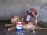 Washing A Lion