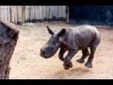 Walking A Baby Rhino