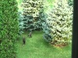 Wild Turkeys In My Yard - Hens And Juveniles