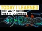 Wasp Turns Prey Into Zombies