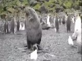 Walrus Makes Penguin His Prison Bitch