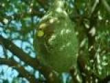 Weaver Birds Make Insane Nest