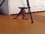 Wallaby Joey Takes Her First Wobbly Steps, Falls Over