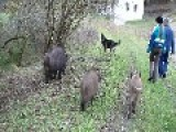 Wolf Dog And Wild Boars