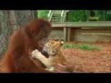 Wow! Orangutan Babysits Tiger Cubs 2015