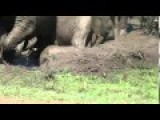 Watch, Babies Elephants Enjoying A Mud Bath