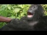 Young Gorilla Laughs When Tickled