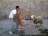 Young Man Rammed Sheep