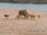 Young Elephant Fights 14 Lions