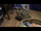 Yoll The Eagle-owl Expels Murloc The Cat From The Room