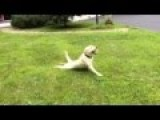 Yellow Lab Has Rear Wheel Braking