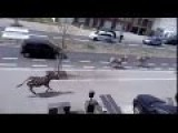 Zebras Run Loose In City Centre