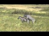 Zebra Mating Big Zebras Make Love 2015