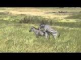 Zebra Mating Big Zebras Make Love 2015
