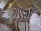 Zebra And Slow Death