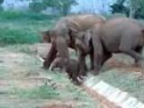 Asian Elephants And People - Sri Lanka