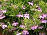Lucia Lavender Blush Lobelia
