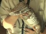 Learn About Savannah Monitors As Exotic Pets
