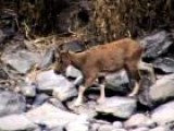 Learn About The Endangered Pakistani Markhor Goats