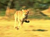 Mehdy Runs With Cheetahs In Namibia