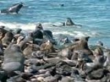 Northern Fur Seals - Feeling The Heat With Jeff Corwin