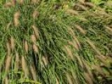 Ornamental Grasses Growing Tips
