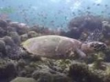 Protecting Turtles In The Coral Triangle