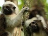 Saving The Cotton-Top Tamarin Monkey Of Colombia