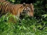 Tiger Conservation In Sumatra