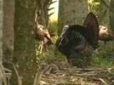 Turkey Hunting At Osceola County