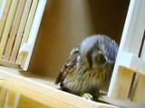 An Owl Hunting Invisible Prey