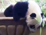 Baby Panda Faceplant