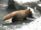 Baby Red Panda Learning To Walk