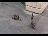 Baby Ducks Leap Of Faith