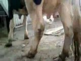 Baby Lamb Feeds From Cow
