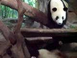 Panda Awakes His Sleeping Buddy By Peeing On Him