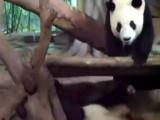 Panda Wakes Panda Friend By Peeing On Him