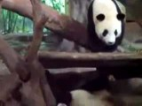 Panda Pees And Poops On Another Panda