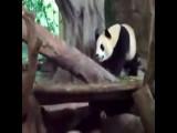 Panda Butt Explosion UNCENSORED !!!
