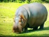 Peter Griffin Laughing Hippo