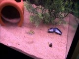 Puffer Fish Chases A Laser Pointer