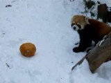 Red Panda Vs. Orange Pumpkin