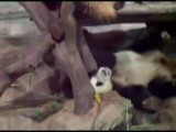 Sleepy Panda Gets A Dump Dropped On Him