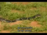 Snake King Cobra-national Geographic