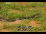 Snake King Cobra-national Geographic